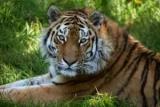 В Приморье обнаружили тело Амурского тигра